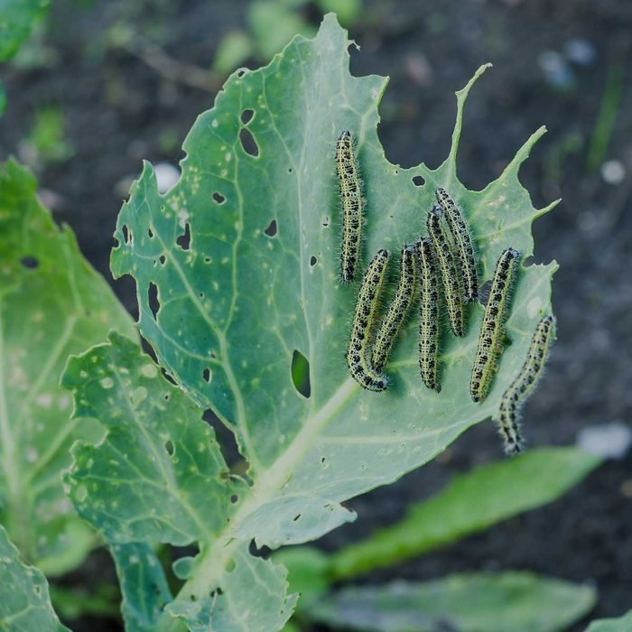 Cabbage White Caterpillar Gettyimages 587940606