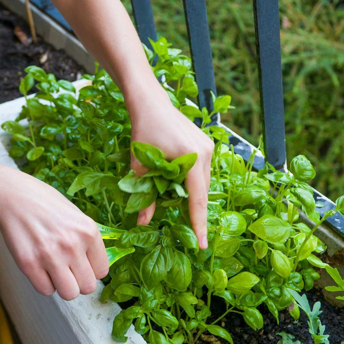 Cutting Basil Gettyimages 929254324