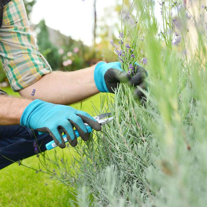 Pruning Lavender Gettyimages 867353542
