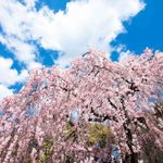 How to Plant and Care for a Weeping Cherry Tree