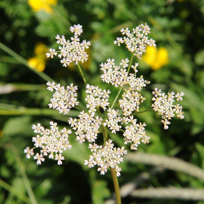 Caraway Flowers