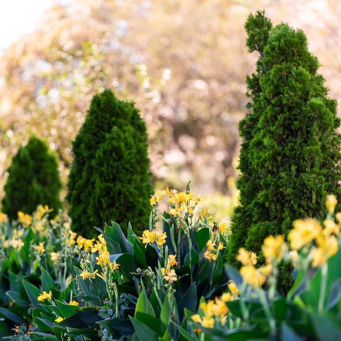 Arborvitae And Cannas