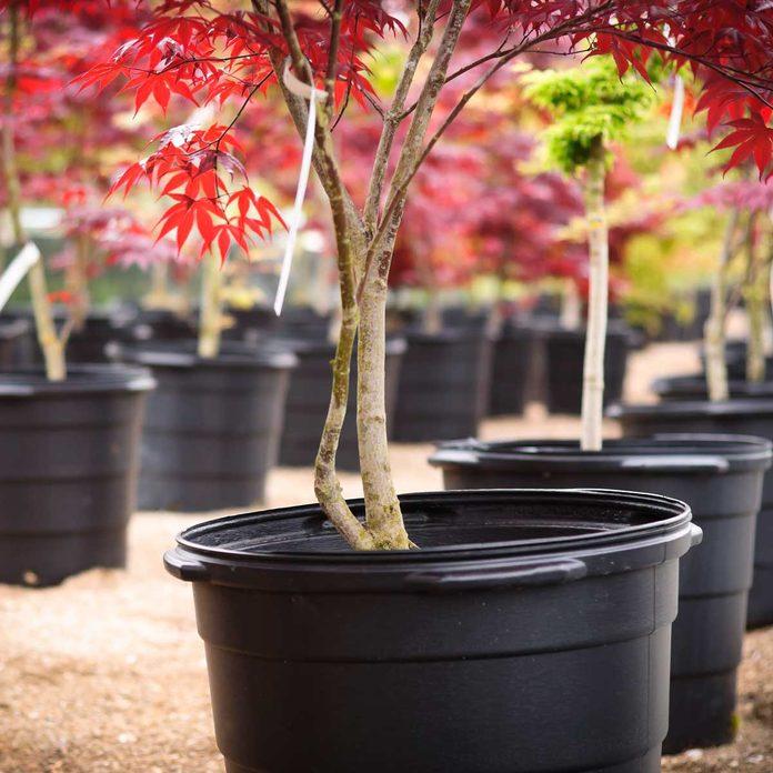 Japanese Maple Nursery