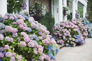 Tips for Growing and Caring for Hydrangeas
