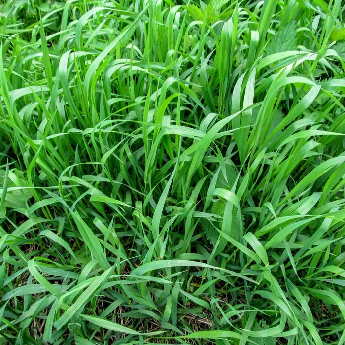 Quack Grass Elymus Repens Gettyimages 871196366
