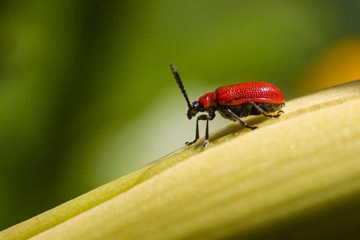 Lilioceris Lilii Leaf Beetle