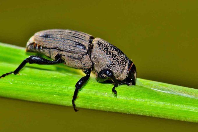 Hunting Billbug