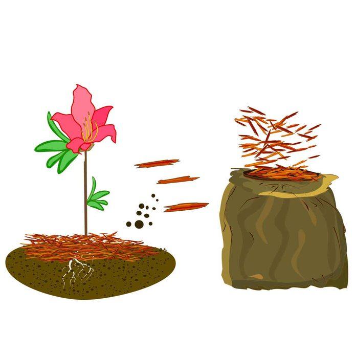 Mulching Azaleas illustration