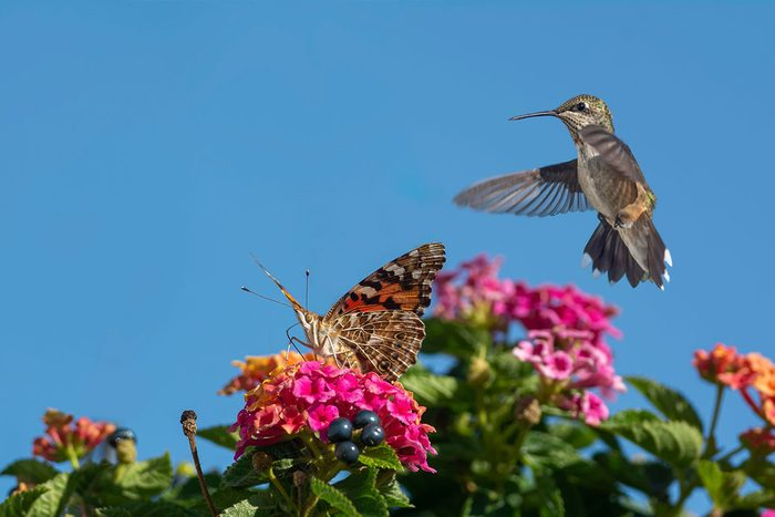 Pollinator Garden with Butterfly and Hummingbird