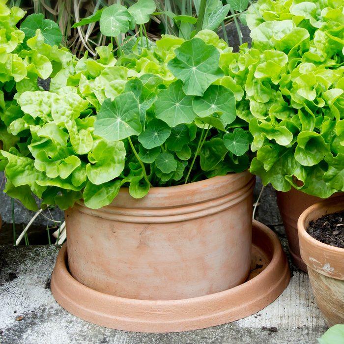 Nasturtium And Variation Of Lettuce In Plant Pots In Garden