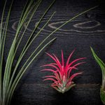 What Are Air Plants and How Do They Grow?