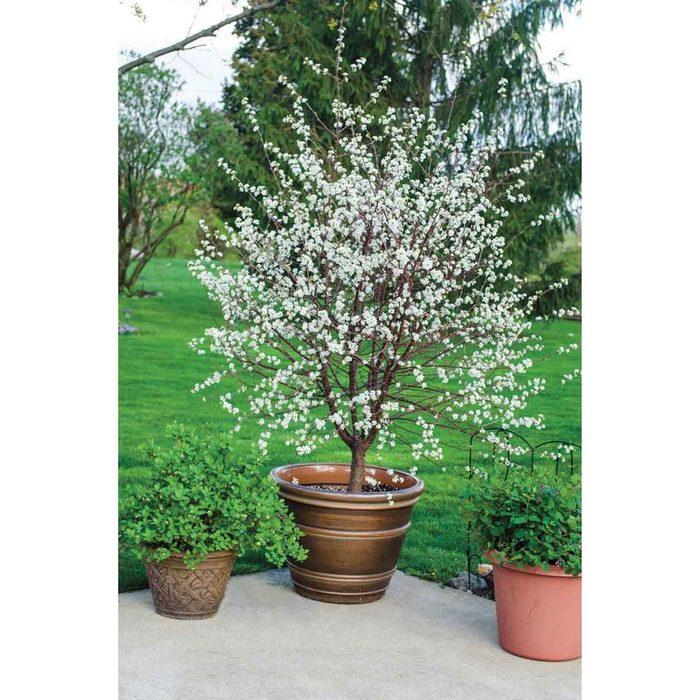 Dwarf Cherry Tree Gurney S Fruit Plants 75352 C3 1000