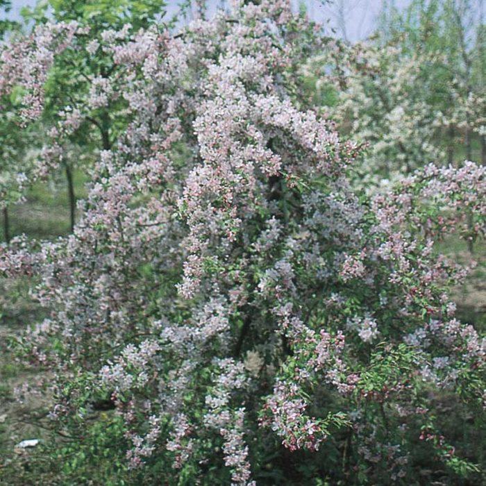 Dwarf Tree 03155947