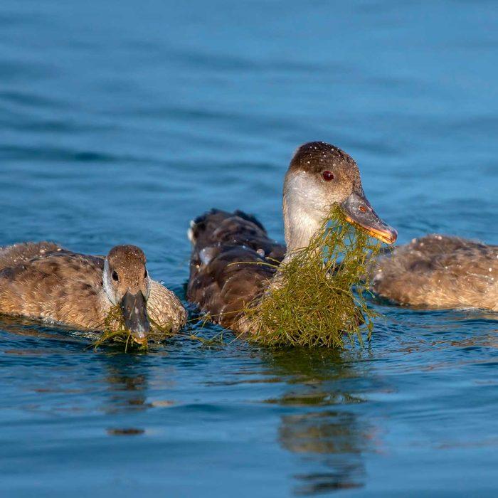 Ducks eating Starry Stonewort