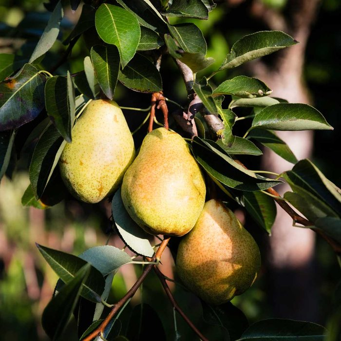 Williams Pears On Tree Gettyimages 1128922756
