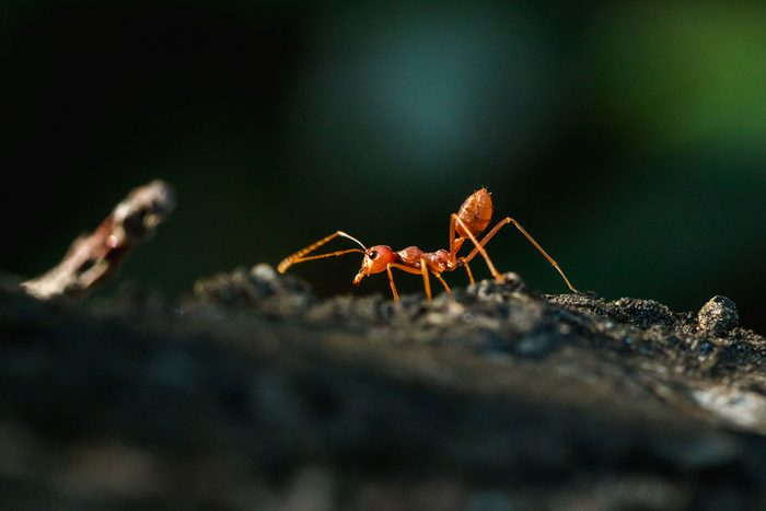 Fire Ant Gettyimages 1280550136