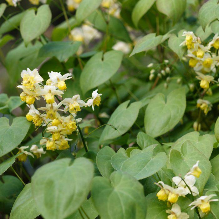Yellow Barrenwort