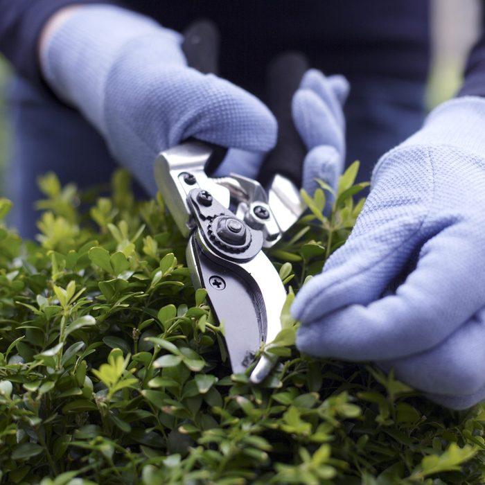 Woman using shears to trim potted shrub