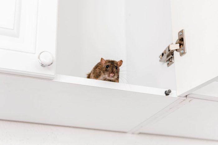 rodent inside kitchen cabinet
