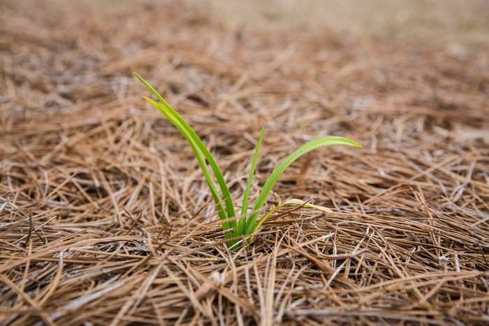Daffodil sprouting out of pine straw