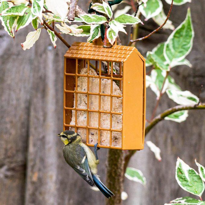 Juvenile bluetit perched on a garden suet feeder