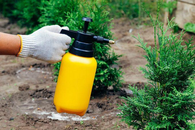 Garden Sprayer Bottle In Female Hand Sprinkles Thuja Tree. Insect Protection Concept.
