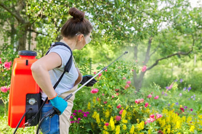 Woman with backpack garden spray gun under pressure handling bushes with blooming roses